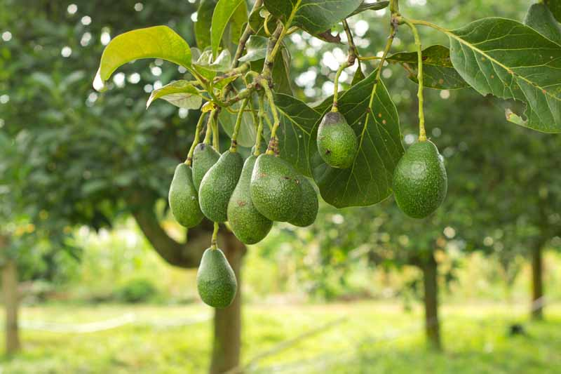 Ripe avocados hanging from a tree.