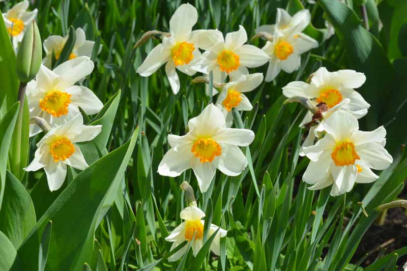 Daffodils in bloom with white petals and yellow centers.