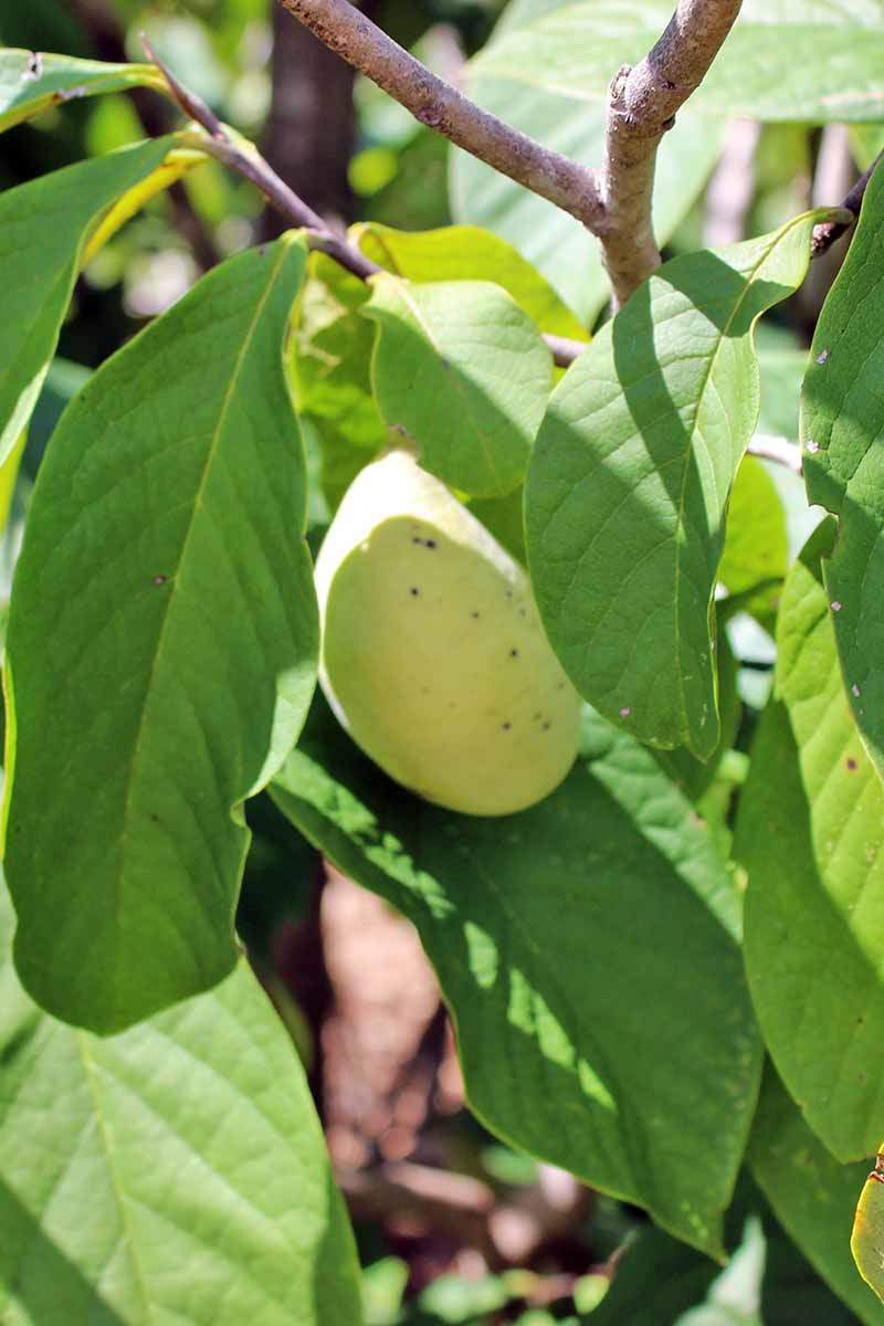 A vertical close up image of a pawpaw fruit hidden by the tree's leaves, in light filtered sunshine with shrubs in soft focus in the background.