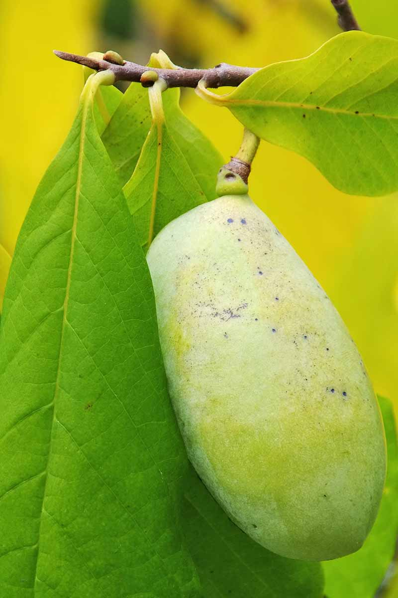 A vertical close up picture of a pawpaw fruit hanging from a branch, with foliage to the right and left, pictured on a soft focus background.