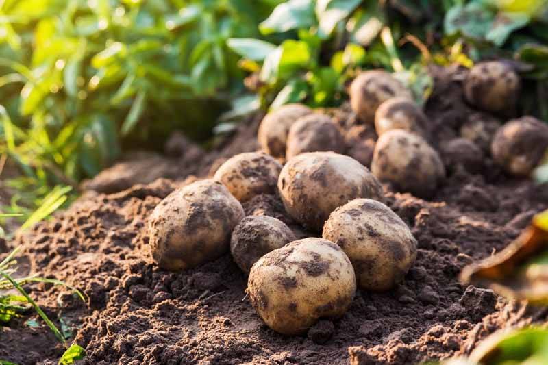 Fresh organic potatoes dug up in a backyard veggie patch sitting on dark, rich garden soil.