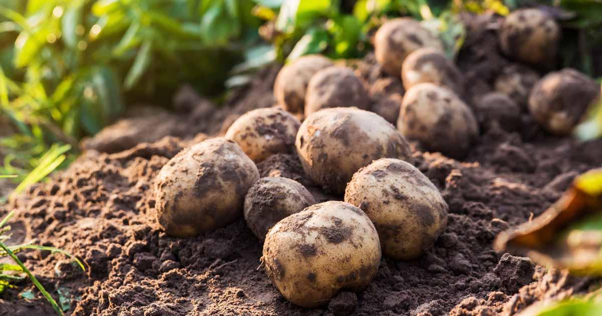 How To Grow Potatoes A Gardener S Path Growing Guide