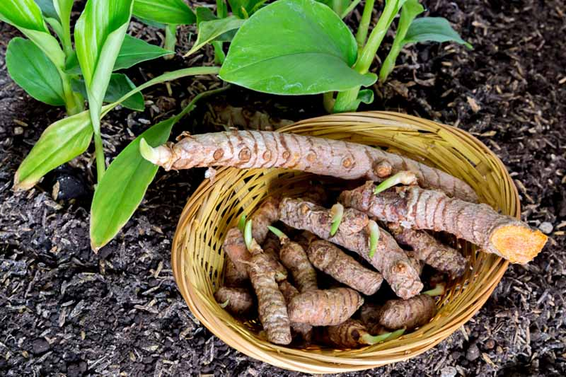 Top down view of a basket of freshly harvest turmeric roots with live plants next to it. Sitting in garden soil.