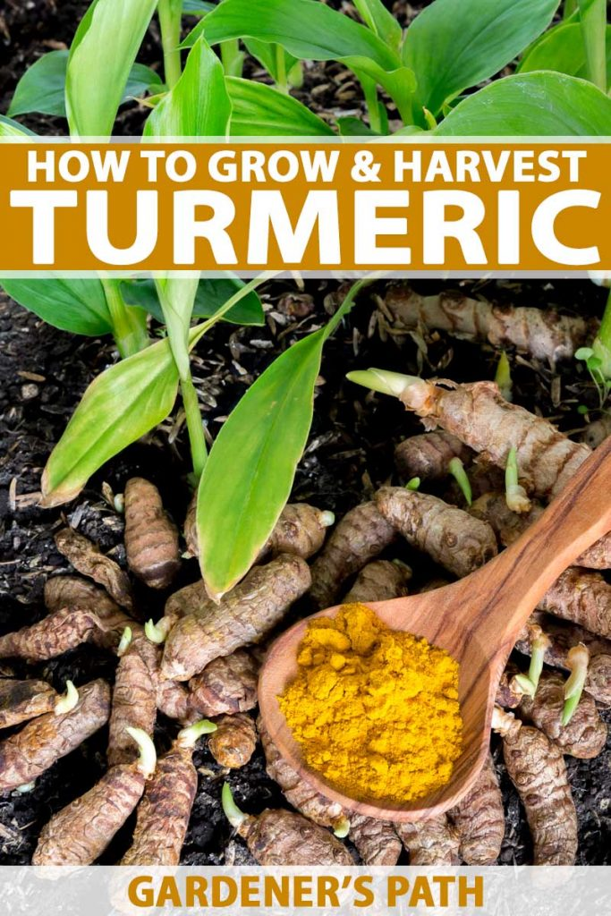 A photo showing a garden scene complete with turmeric sprouts, roots, and ground spice.