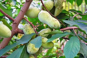 The Legendary Temperate Zone Pawpaw and How to Grow It