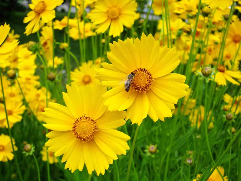Yellow lance-leaved coreopsis flowers. Close up.