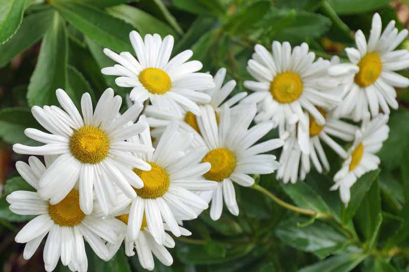 A cluster of white bloom of Montauk or Nippon daisy