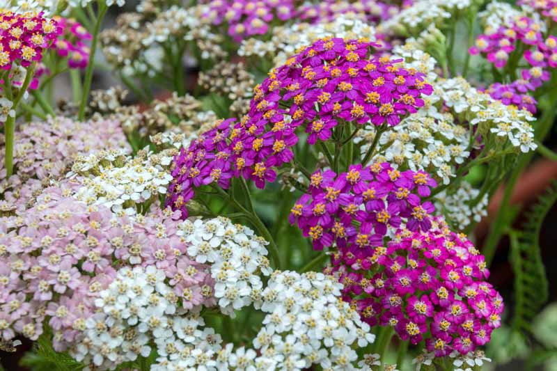 Purple, pink, and white yarrow growing as a ground cover.