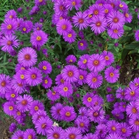 Top down view of purple New England Aster in bloom.