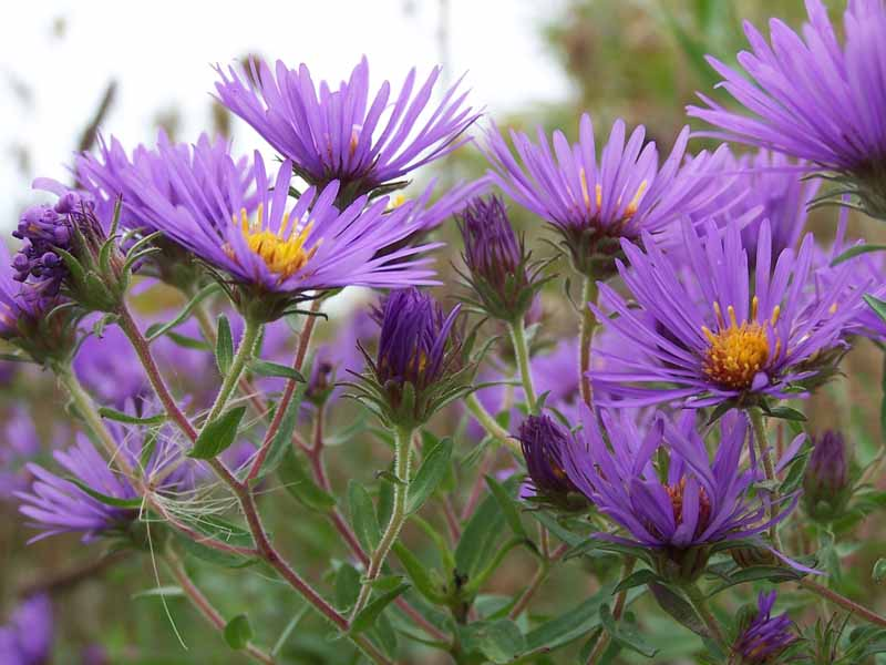 Purple New England Aster (Symphyotrichum novae-angliae) growing in a field. Close up.