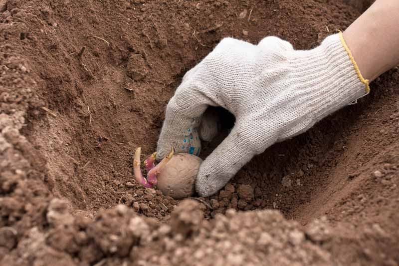 A gloved human hand places a potato seedling in a trench in garden soil.