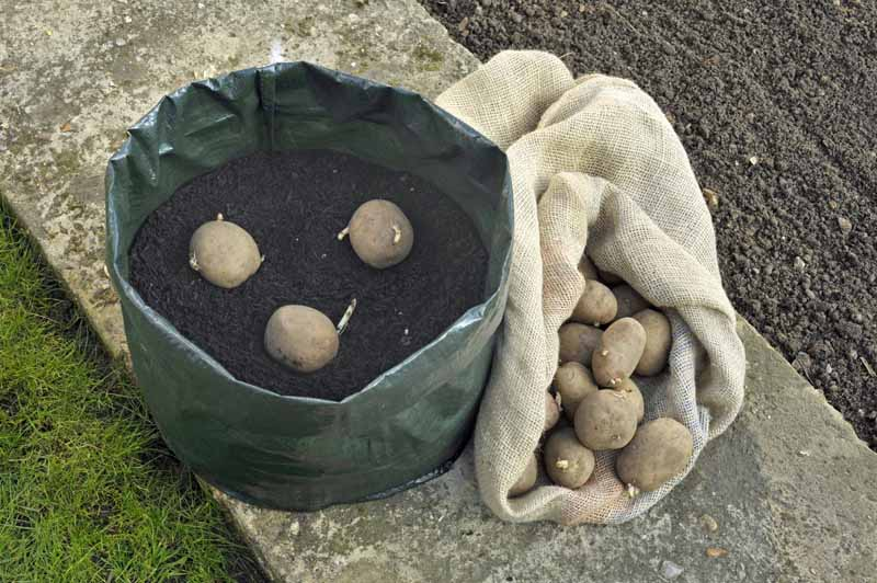 Potatoes being planted in a heavy duty fabric container full of garden soil.