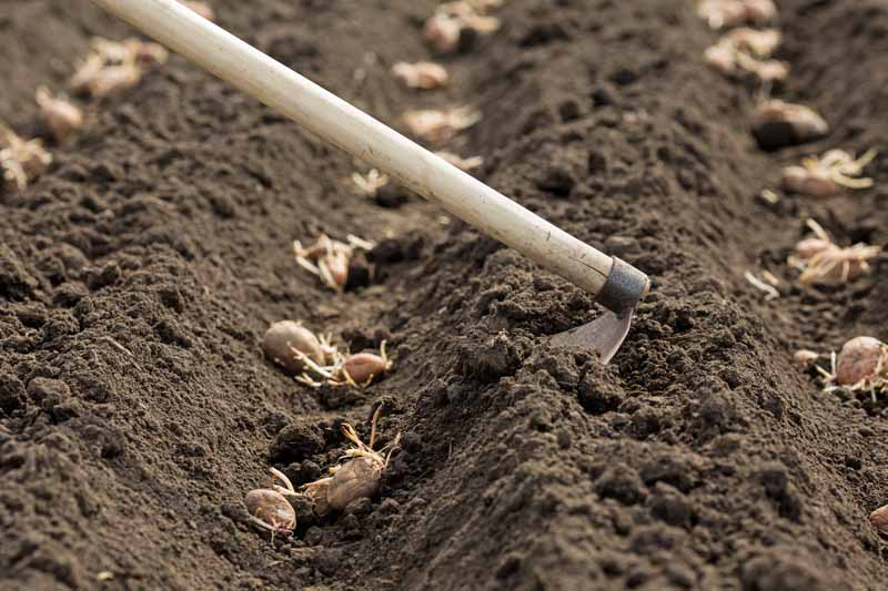 A garden hoe is used to dig trenches in rich garden soil with potatoes being planted within.