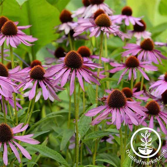 A mass planing of wild purple Echinacea coneflowers.