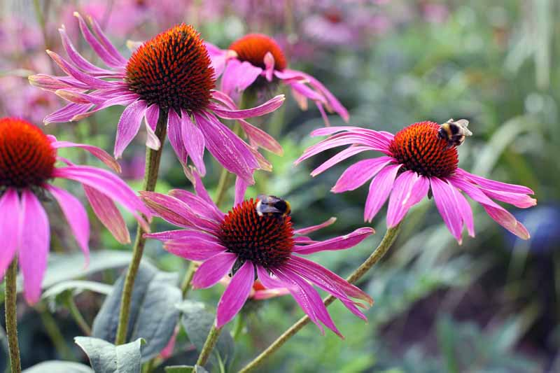 Close up of Coneflower (echinacea) in bloom.
