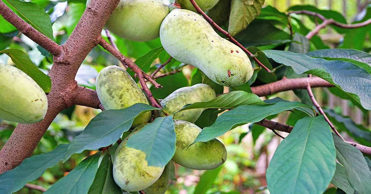 How to Grow Pawpaws, A Legendary Native Fruit | Gardener's Path