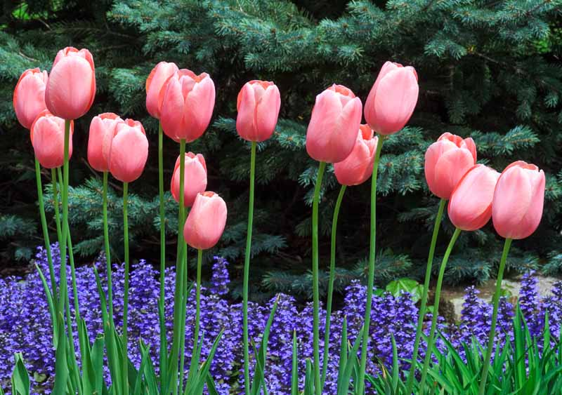 Pink tulips blooming over violet ajuga flowers with blue spruce pines in the background.