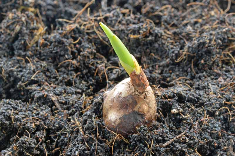 A single turmeric root planted in soil and sprouting a single stem.