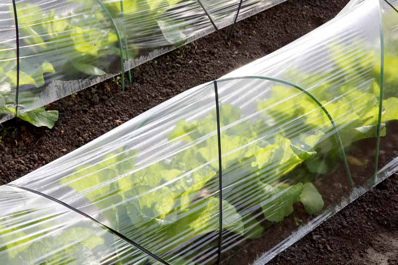 Plastic row covers protect leafy veggies.