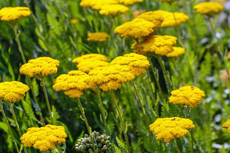 A field with yellow yarrow (Achillea millefolium) flowers growing.