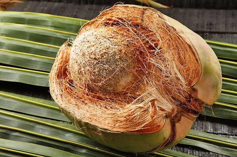 A coconut with the coir or outer fibrous husk partially removed.