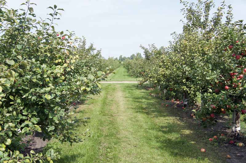 Two rows of apple trees with a freshly mowed grass strip between them.