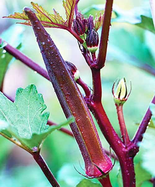 A beautiful burgundy okra plant in nature.