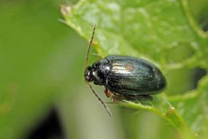 Getting a Grip on Flea Beetles