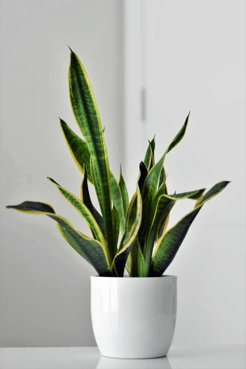 How To Grow And Care For Snake Plants Sansevieria Gardener S Path