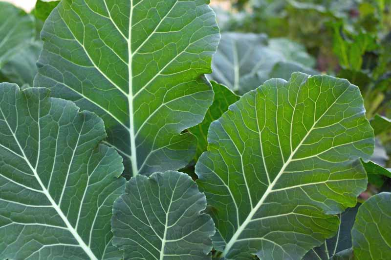 Closeup of green collard leaves growing in the garden pictured on a soft focus background.