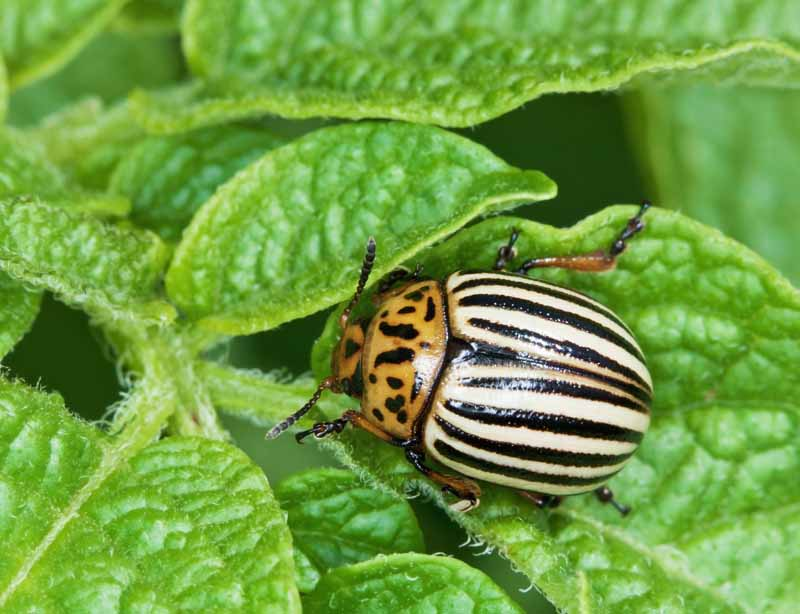 Macro image of a Colorado potato beetle showing black and white stripes and other markings.