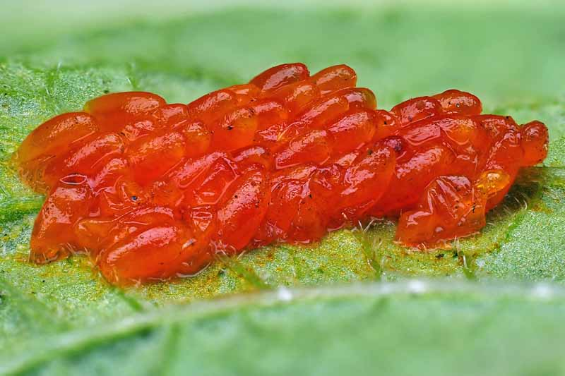A cluster of Colorado potato beetle eggs on a leaf.