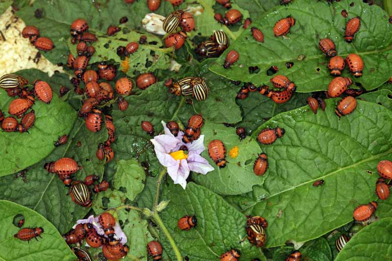 An infestation of Colorado potato beetles on a plant.
