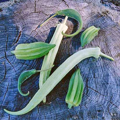 'Cow Horn' okra pods laying on a tree stump.