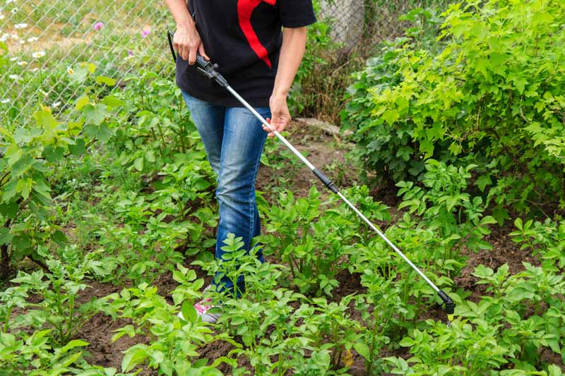 Bottom half of a person in a potato patch using a backpack sprayer to distribute nematodes.