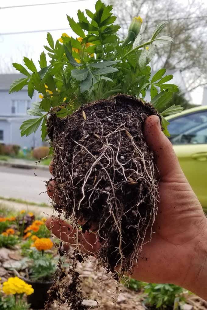 A marigold plant removed from a small pot with its's roots lightly ripped at the bottom.