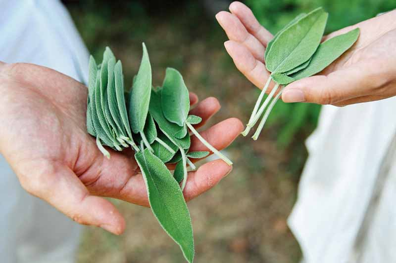 Human hands hold freshly harvested culinary sage leaves.