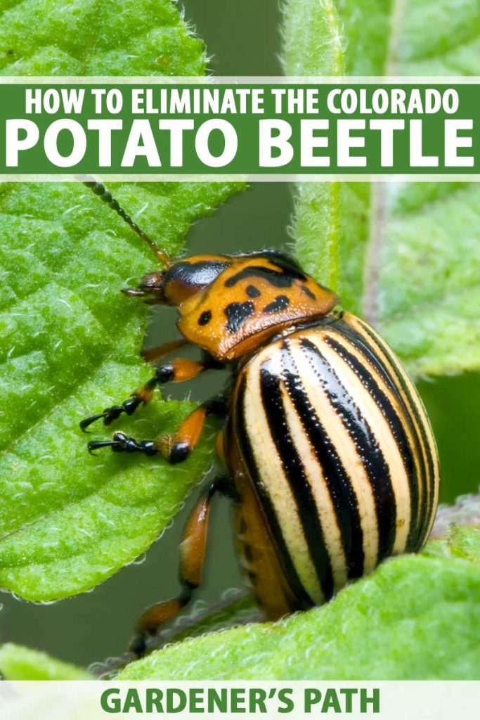A Colorado potato beetle chewing on a leaf.