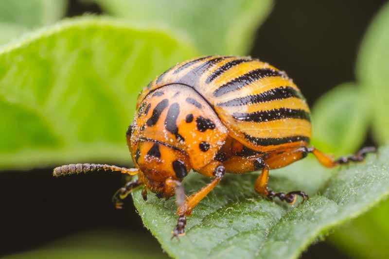 A Colorado potato beetle perched on a leaf.