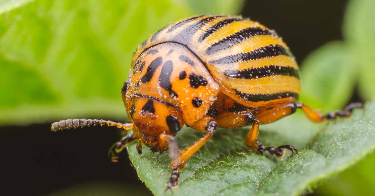 How to Control and Get Rid of Colorado Potato Beetles