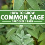 A collage of photos showing different views on common or culinary sage growing in a herb garden.