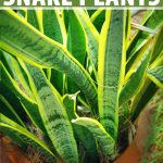 Close up of a pot of variegated snake plant (Sansevieria) growing in a terracotta pot.