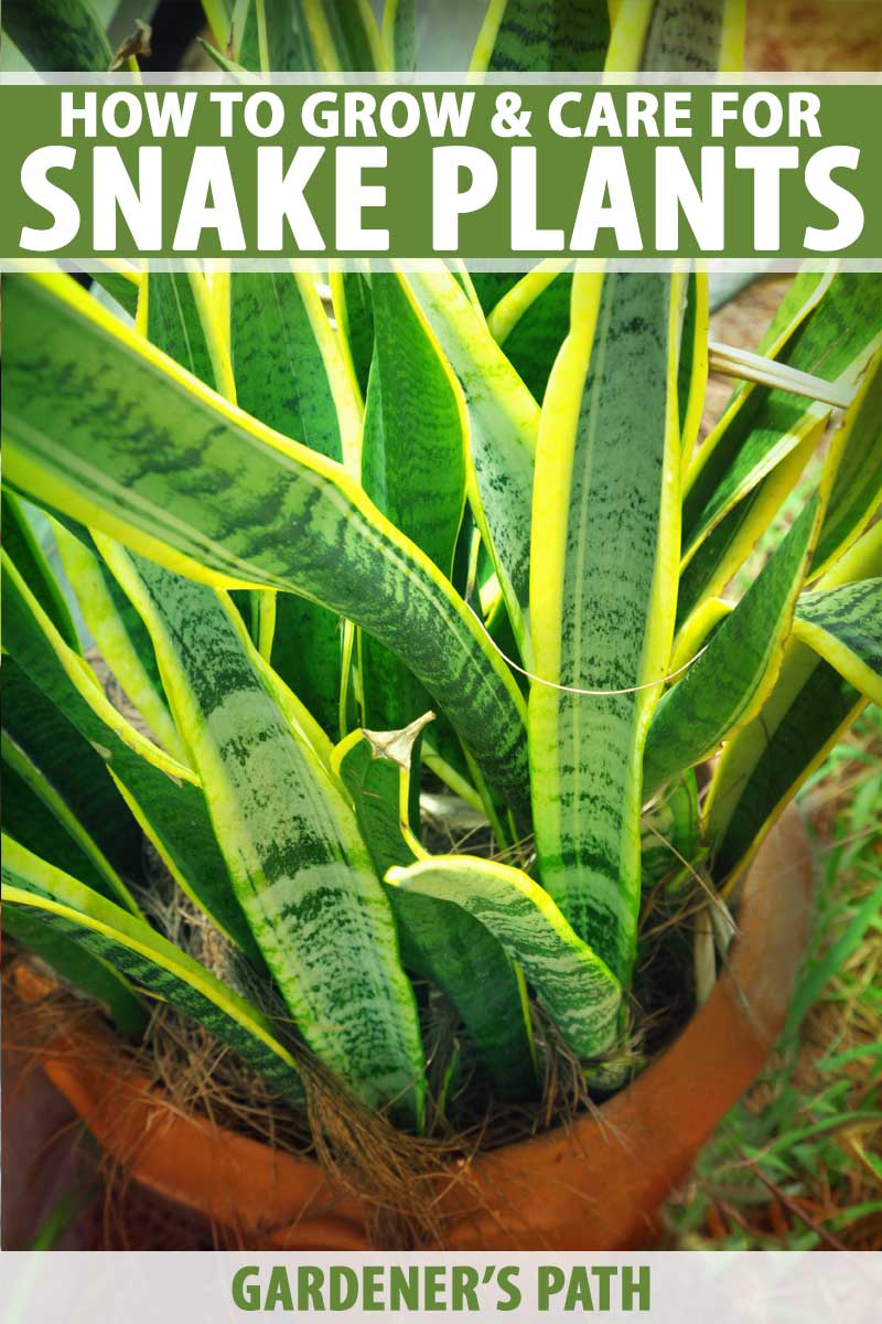 How to Grow and Care for Snake Pants (Sansevieria