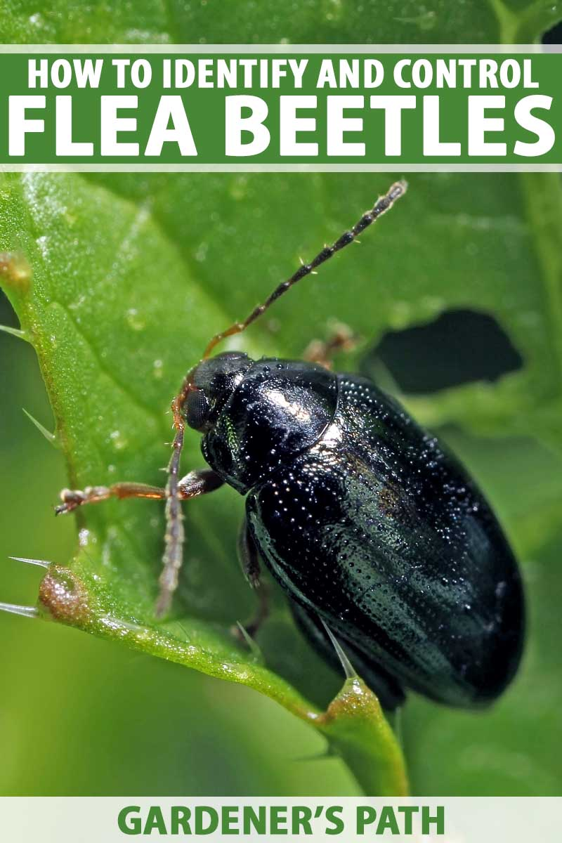 Surprising How To Control And Eradicate Flea Beetles Gardeners Path Home Interior And Landscaping Ferensignezvosmurscom