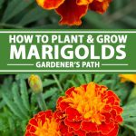 A collage of photos showing different views of colorful marigolds growing in flower beds.