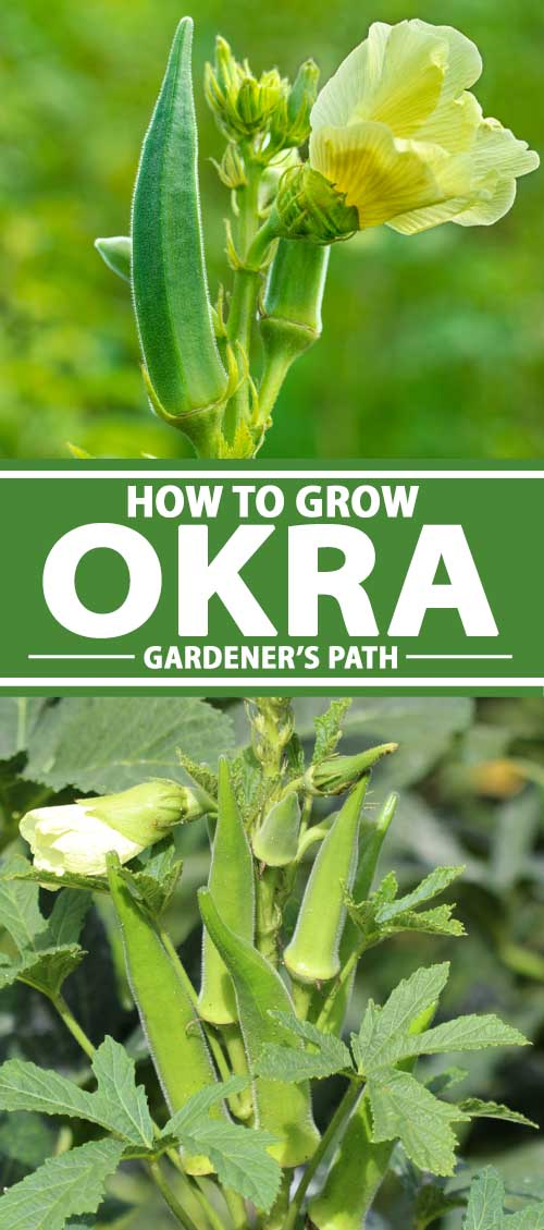 A collage of photos showing okra growing in a vegetable garden.