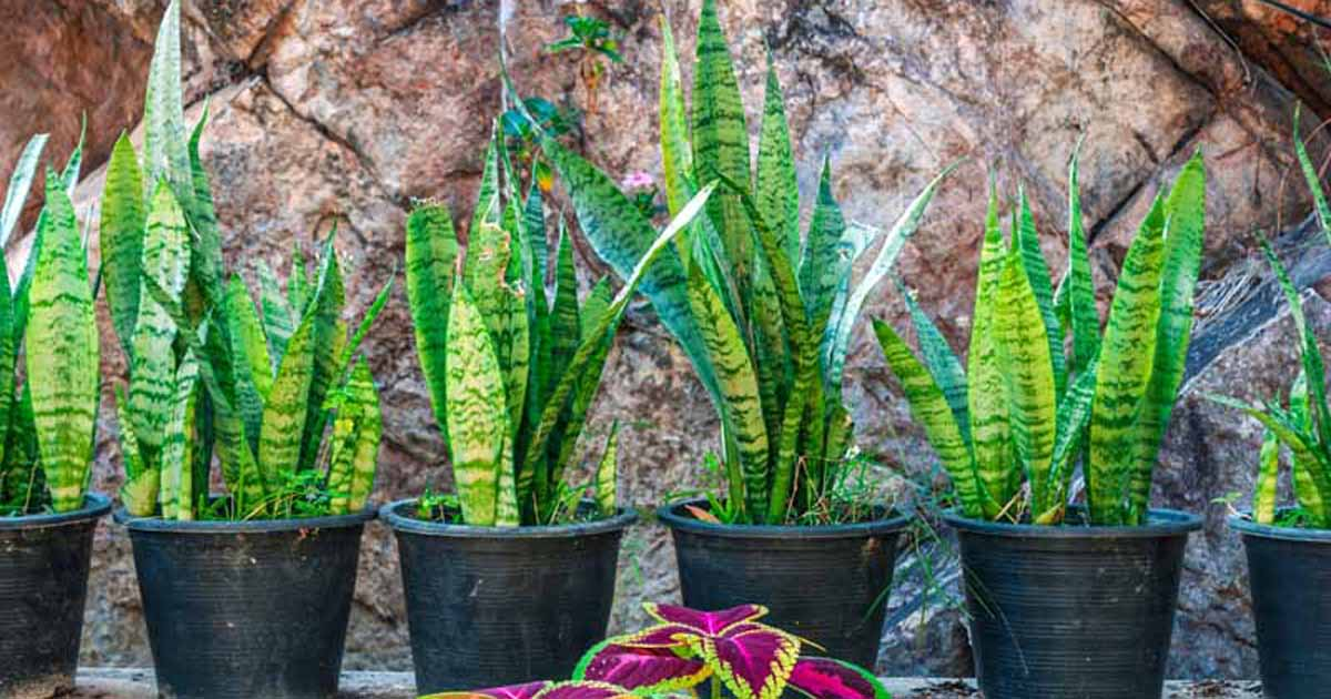 How To Grow And Care For Snake Pants Sansevieria Gardener S Path
