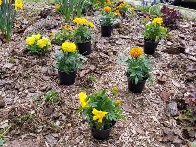 Marigold flowers in plastic 4 inch pots, laid out in their planting pattern to get correct spacing.
