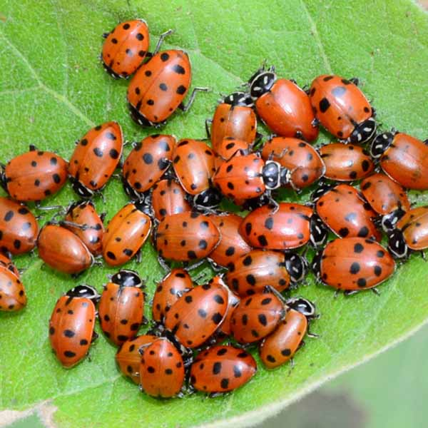 A group of ladybugs on a green leaf.