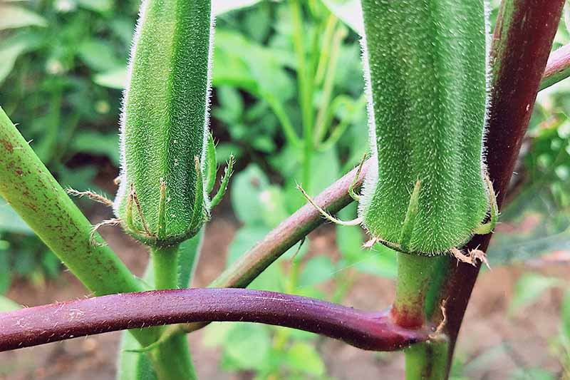 A horizontally growing stem supports one okra fruit, with another vertically growing stem supporting another fruit behind it. Other plants and the soil they grow are fade into the background.